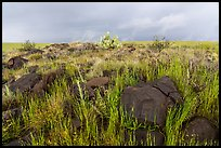 Basalt rocks and tall grasses. Agua Fria National Monument, Arizona, USA ( color)