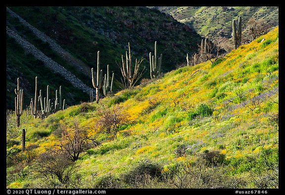 Saguaro cacti on slope with spring wildflowers, Tonto National Monument. Tonto Naftional Monument, Arizona, USA (color)