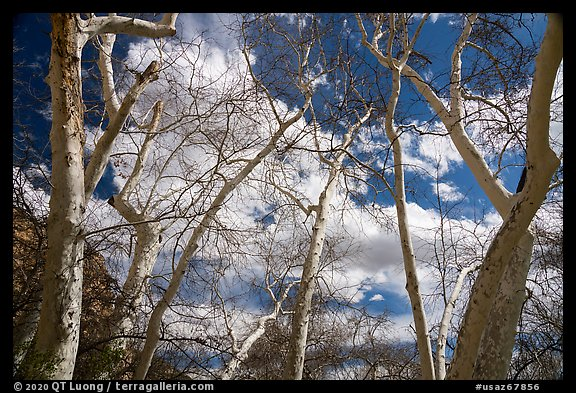 Sycamore trees, Montezuma Castle National Monument. Arizona, USA (color)