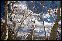 Sycamore trees, Montezuma Castle National Monument. Arizona, USA ( color)