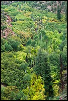 Aspen and conifer on Betatakin Canyon floor. Navajo National Monument, Arizona, USA ( color)
