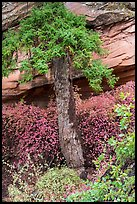 Flowers, pine, and sandstone. Navajo National Monument, Arizona, USA ( color)