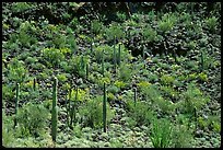 Saguaro Cactus on hillside. Organ Pipe Cactus  National Monument, Arizona, USA