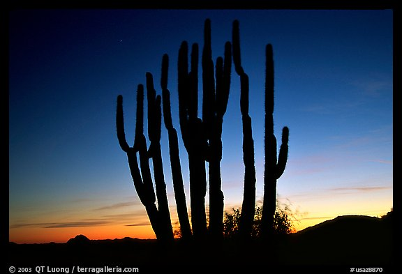 Organ Pipe cactus silhouetted at sunset. Organ Pipe Cactus  National Monument, Arizona, USA (color)
