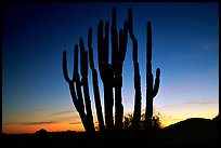 Organ Pipe cactus silhouetted at sunset. Organ Pipe Cactus  National Monument, Arizona, USA ( color)