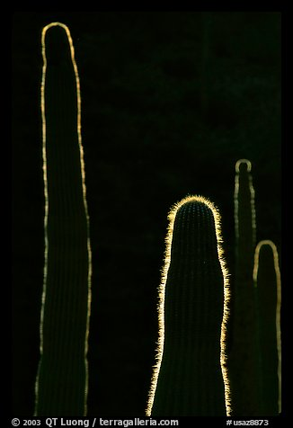 Backlit cactus. Organ Pipe Cactus  National Monument, Arizona, USA (color)