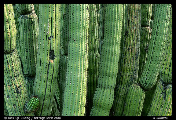 Detail of Organ Pipe Cactus. Organ Pipe Cactus  National Monument, Arizona, USA (color)