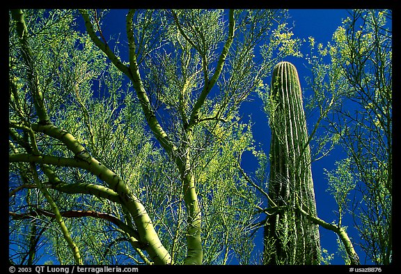 Paloverde and Cactus. Organ Pipe Cactus  National Monument, Arizona, USA (color)