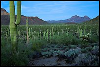 Cacti, Diablo Mountains, dusk. Organ Pipe Cactus  National Monument, Arizona, USA