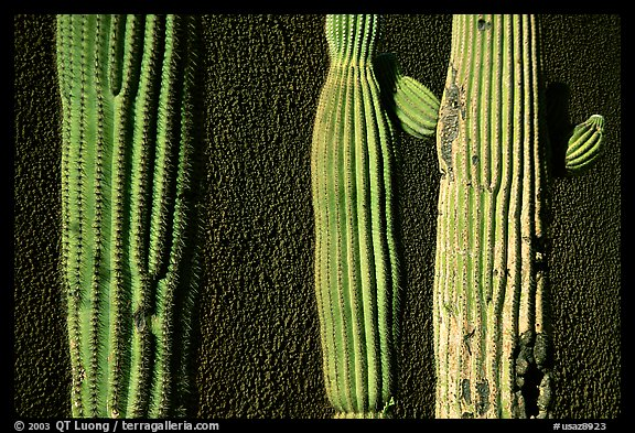 Cactus and wall, Old Tucson Studios. Tucson, Arizona, USA (color)