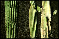 Cactus and wall, Old Tucson Studios. Tucson, Arizona, USA ( color)