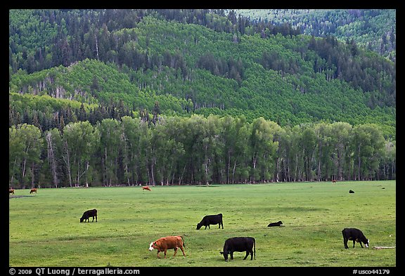 Cows in meadow and aspen covered slopes in spring. Colorado, USA (color)