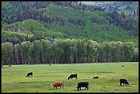 Cows in meadow and aspen covered slopes in spring. Colorado, USA ( color)