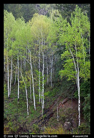 Aspen trees with new spring leaves. Colorado, USA (color)