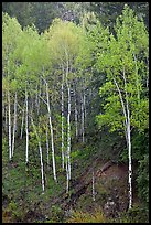 Aspen trees with new spring leaves. Colorado, USA ( color)