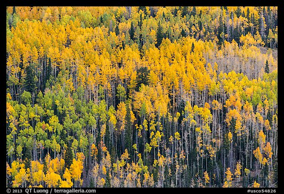 Slope with aspens in fall color, Rio Grande National Forest. Colorado, USA (color)