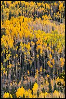 Aspens in autumn foliage on hillside, Rio Grande National Forest. Colorado, USA ( color)