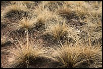 Grasses. Canyon of the Ancients National Monument, Colorado, USA ( color)