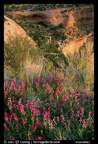 Indian Paintbrush and sandstone cliffs. Colorado National Monument, Colorado, USA (color)