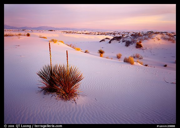 Yucca and white gypsum sand at sunrise. White Sands National Monument, New Mexico, USA (color)