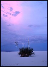 Lone yucca plants at sunset, White Sands National Monument. USA ( color)