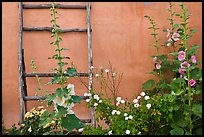 Flowers, ladder, and adobe wall. Albuquerque, New Mexico, USA (color)