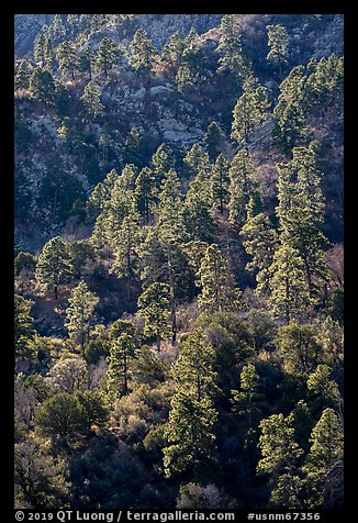 Pine trees on ridge. Organ Mountains Desert Peaks National Monument, New Mexico, USA (color)