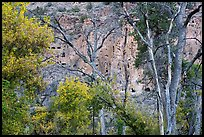 Cliff with cave dwellings seen through trees in autumn foliage. Bandelier National Monument, New Mexico, USA ( color)