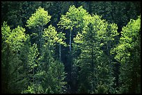 Aspens and conifers in spring. New Mexico, USA ( color)