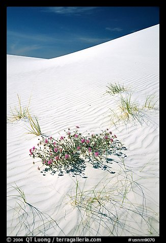 Flowers and dunes. White Sands National Park (color)