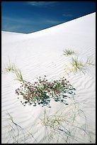Flowers and dunes. White Sands National Monument, New Mexico, USA (color)