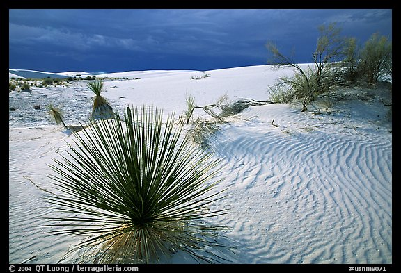 Yuccas, White Sand National Monument. White Sands National Monument, New Mexico, USA (color)