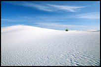 Lone Yucca and white sand dunes. White Sands National Monument, New Mexico, USA (color)