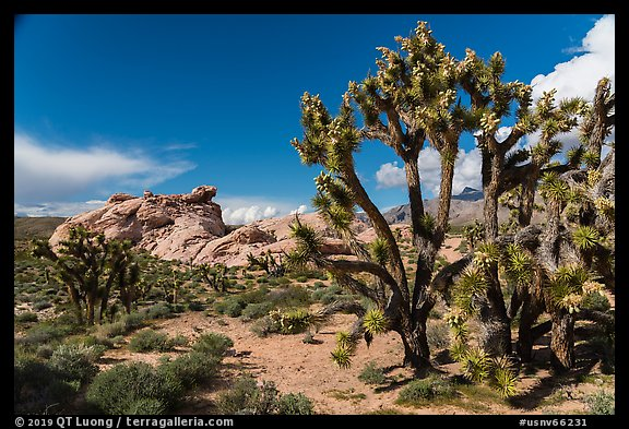 Joshua Trees in seed and rocks. Gold Butte National Monument, Nevada, USA (color)