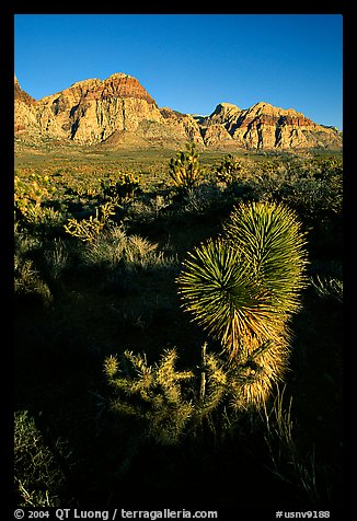 Yucca and cliffs. Red Rock Canyon, Nevada, USA (color)