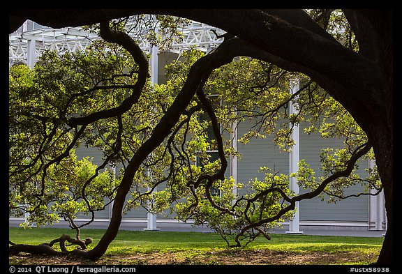 Live oak in front of Menil Collection. Houston, Texas, USA (color)