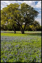 Bluebonnets and trees. Texas, USA ( color)