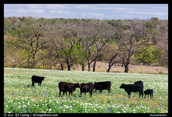 Cattle in meadow with flowers. Texas, USA (color)