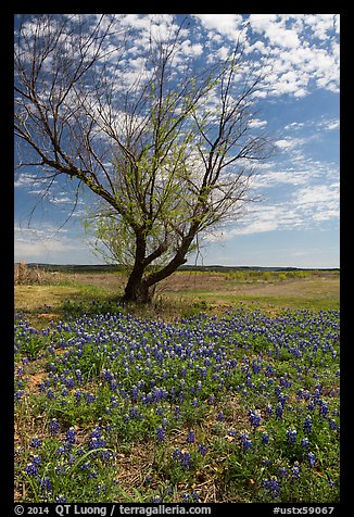 Bluebonnets and lone tree, Tow. Texas, USA (color)