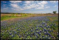 Carpets of Bluebonnets. Texas, USA ( color)