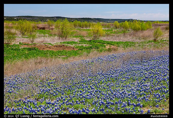 Bluebonnets and newly leafed trees. Texas, USA (color)