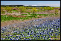 Bluebonnets and newly leafed trees. Texas, USA ( color)