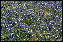 Patch of Bluebonnet flowers. Texas, USA ( color)