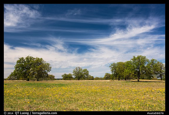 Meadow with wildflower and oak trees. Texas, USA (color)