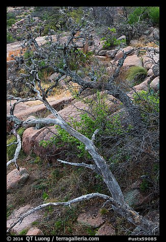 Branches and rocks, Enchanted Rock state park. Texas, USA (color)