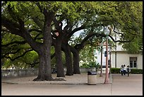 Oak trees on campus, University of Texas. Austin, Texas, USA ( color)