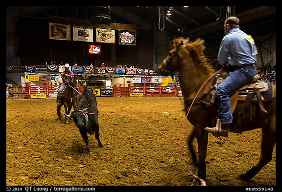 Bull being roped, Stokyards Championship Rodeo. Fort Worth, Texas, USA (color)