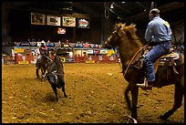 Bull being roped, Stokyards Championship Rodeo. Fort Worth, Texas, USA ( color)