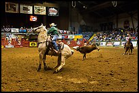 Team finishing roping, Stokyards Rodeo. Fort Worth, Texas, USA ( color)