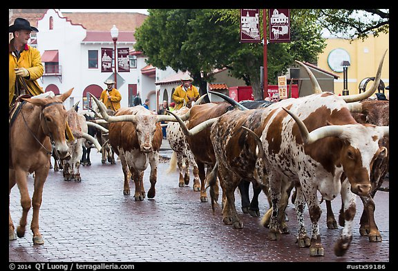 Longhorn cattle driven on Stockyards main street. Fort Worth, Texas, USA (color)